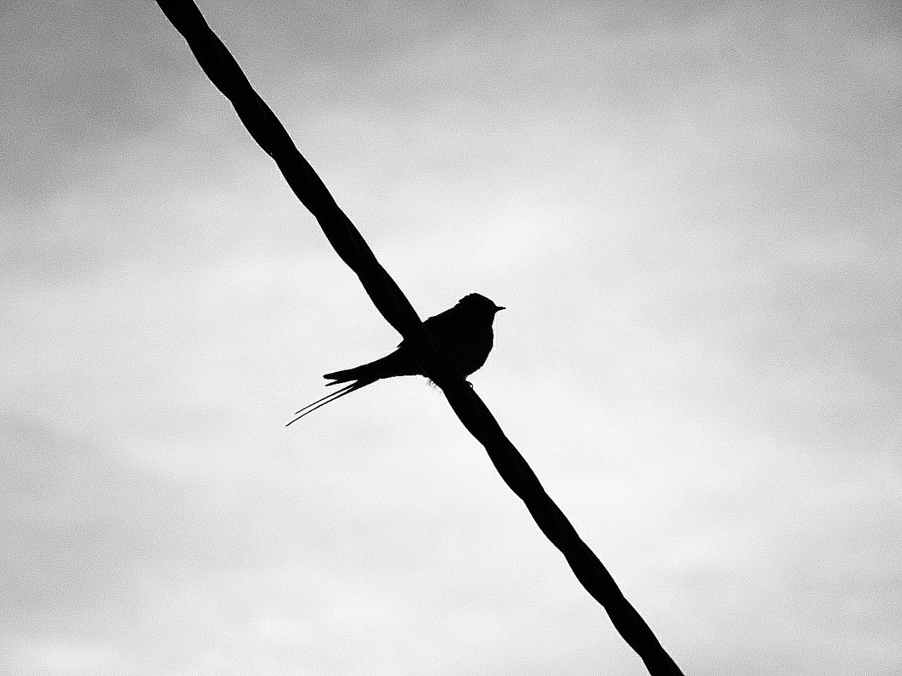 bird, one animal, animal themes, animals in the wild, low angle view, animal wildlife, outdoors, day, silhouette, nature, no people, spread wings, sky, flying