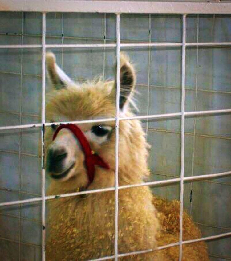 Arizona Phoenix, AZ State Fair AZ State Fairgrounds Animals Mammals Living Things Young Alpaca It's So Fluffy Soft Zoo