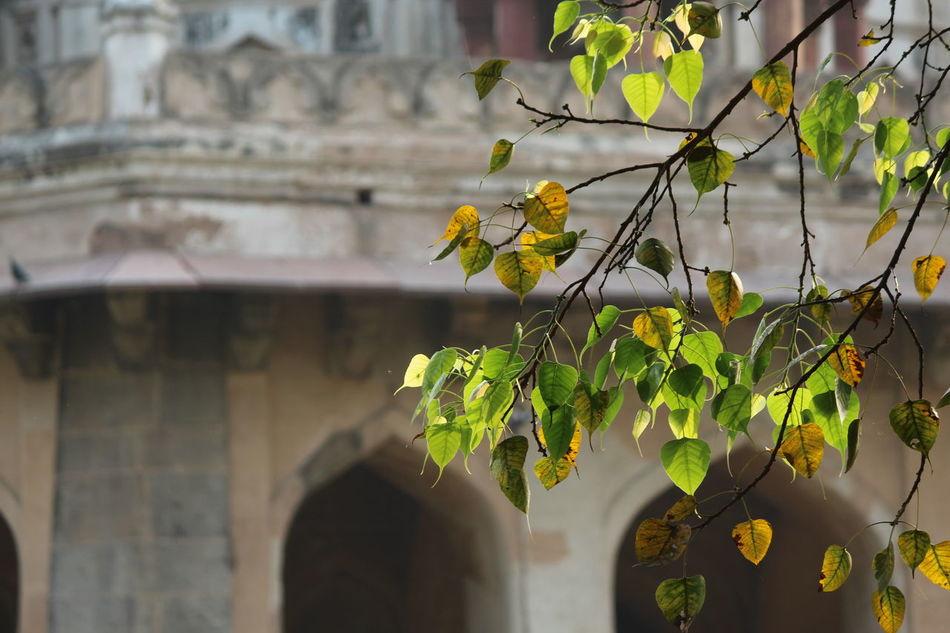 Antique Botany Combined Fucosa Religiosa Monument Natureandbuilding Peepal Tree Stem