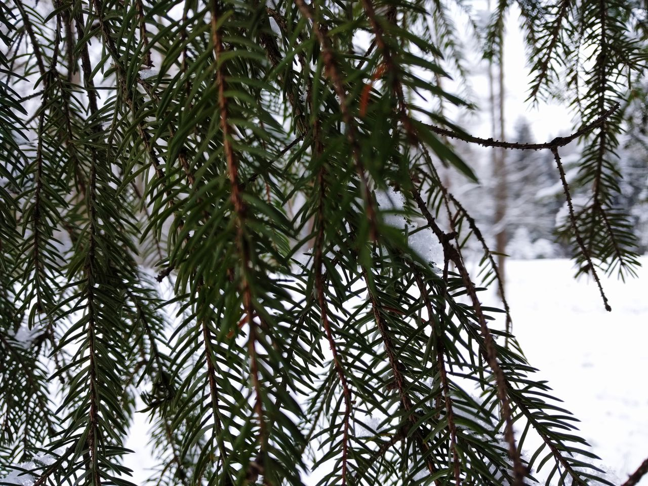 winter, nature, tree, cold temperature, focus on foreground, snow, day, pine tree, weather, growth, beauty in nature, outdoors, close-up, no people, green color, spruce tree, branch, fir tree, needle, sky