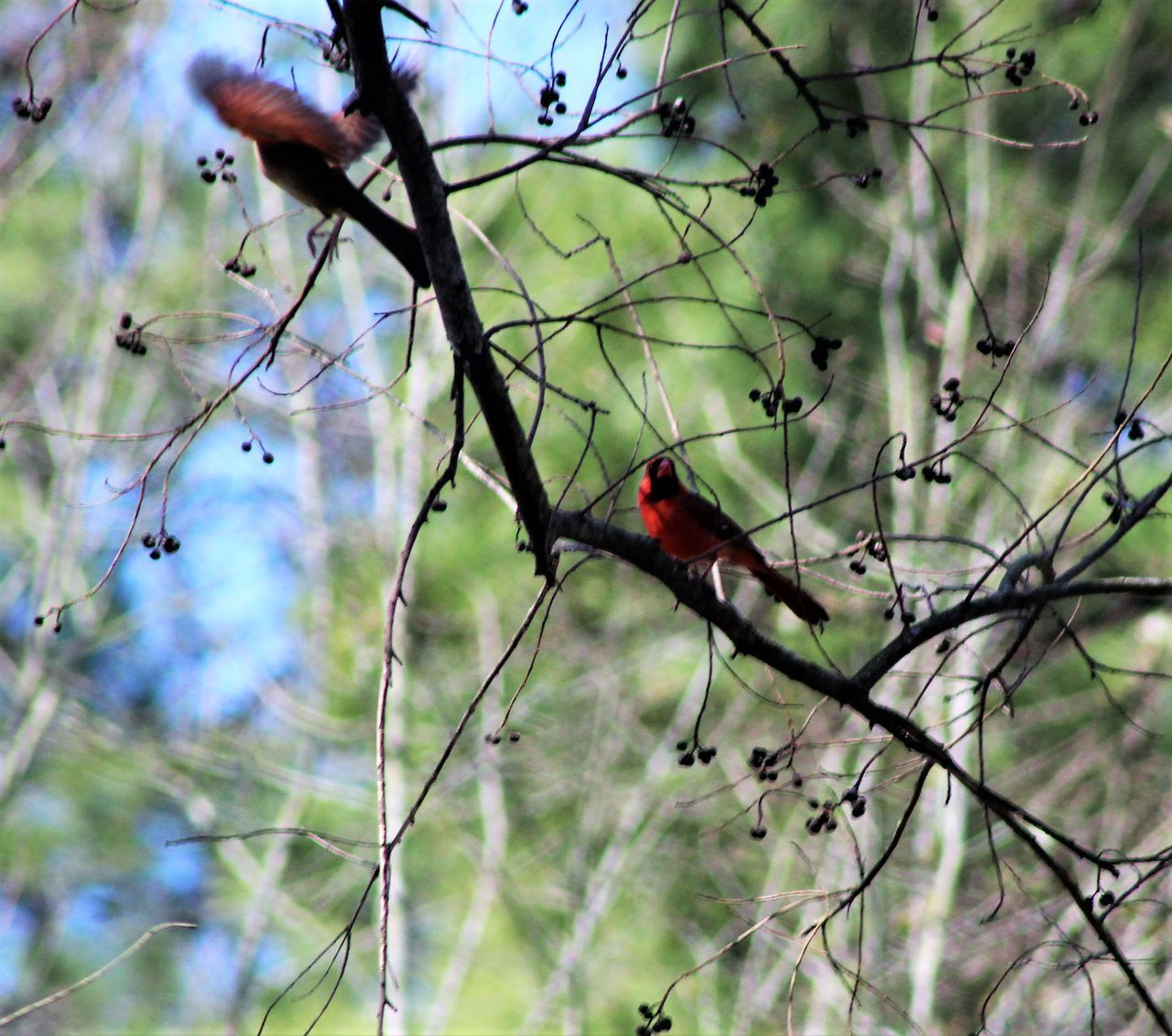 Animal Themes Animals In The Wild Beauty In Nature Bird Branch Close-up Day Nature No People One Animal Outdoors Perching Tree Redbird Manual Focus Canonphotography Things In My Back Yard Red Color