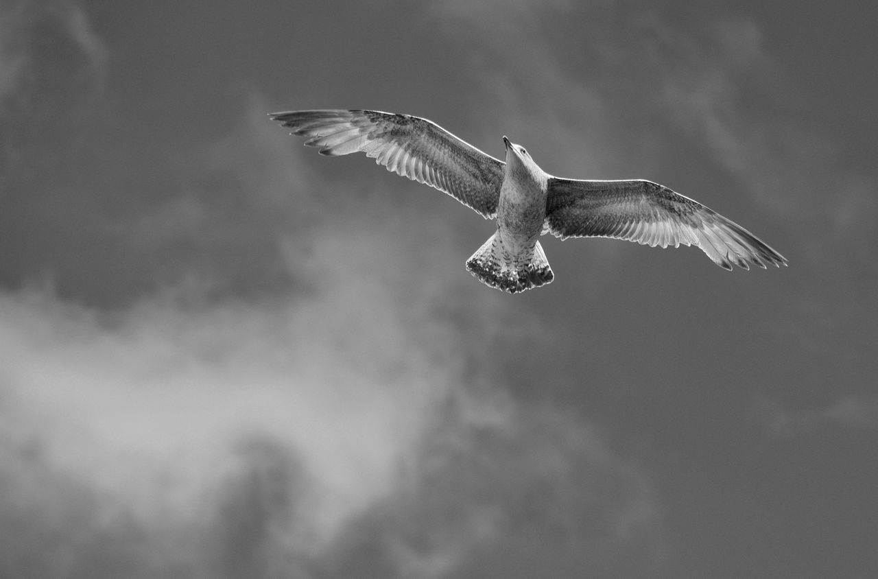 Flying Spread Wings Bird Mid-air Outdoors Nature Monochrome Black And White Sharp Free Freedom No People In Flight Flying Bird Wings Soaring Nature Gull Beauty In Nature Thermals Avian Seagull Feathered Sky One Animal