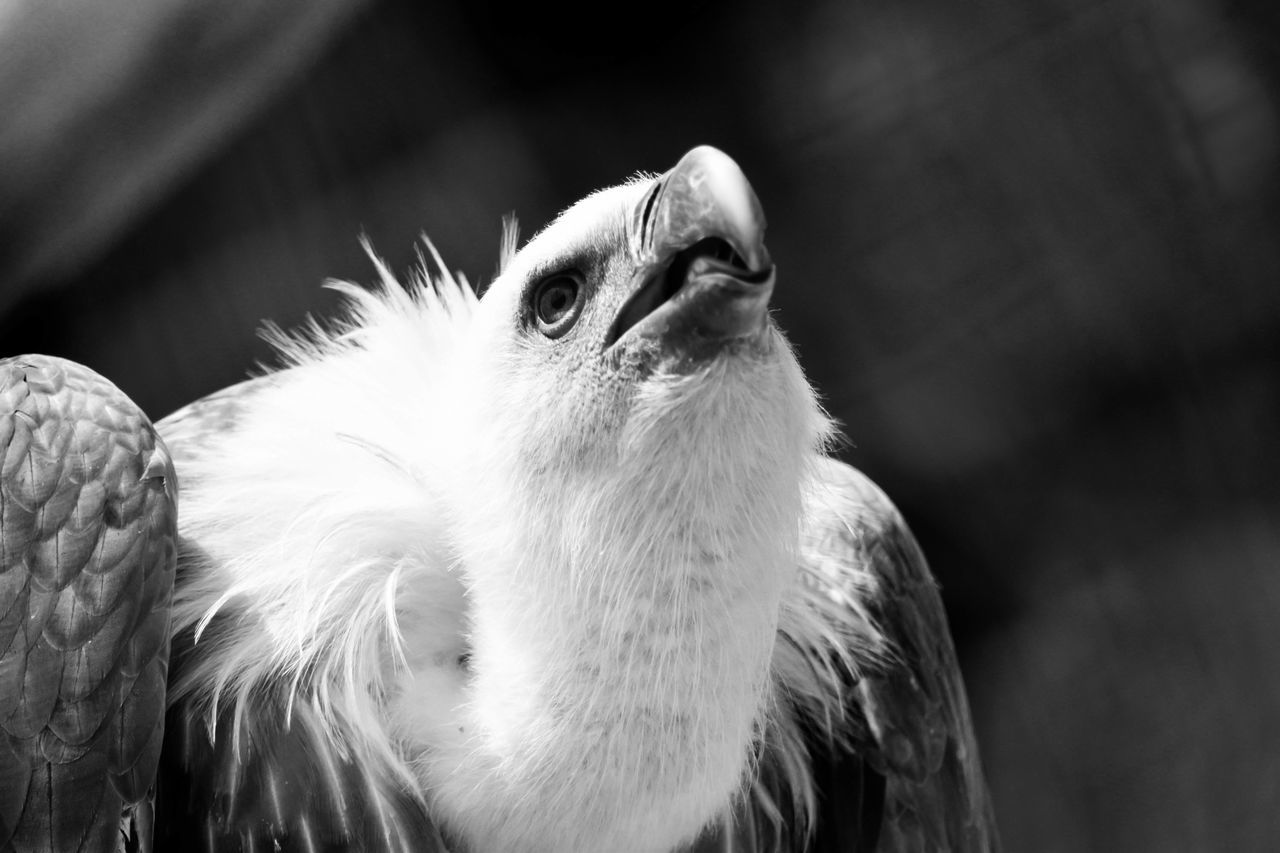 I shot this vulture in Riyadh Zoo. الرياض Photographs Photography تصويري  Beautiful View السودان Learn & Shoot: Leading Lines تصويري_نيكون Blackandwhite Photography Taking Photos Birds Vulture