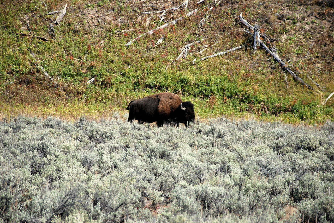 Montana, USA American Bison Animal Themes BIG Bison Buffalo Capture The Moment Day Eating Lunch Enjoying Life Eye4photography  Field Grass Mammal Montana Nature No People Outdoors Photo Relaxing Taking Photos Wild Wildlife Wildlife & Nature Wildlife Photography Yellowstone