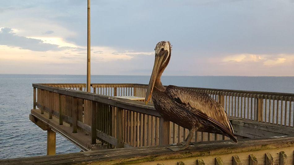 Bird Fairhope  Pelican Pier Fairhope Pier