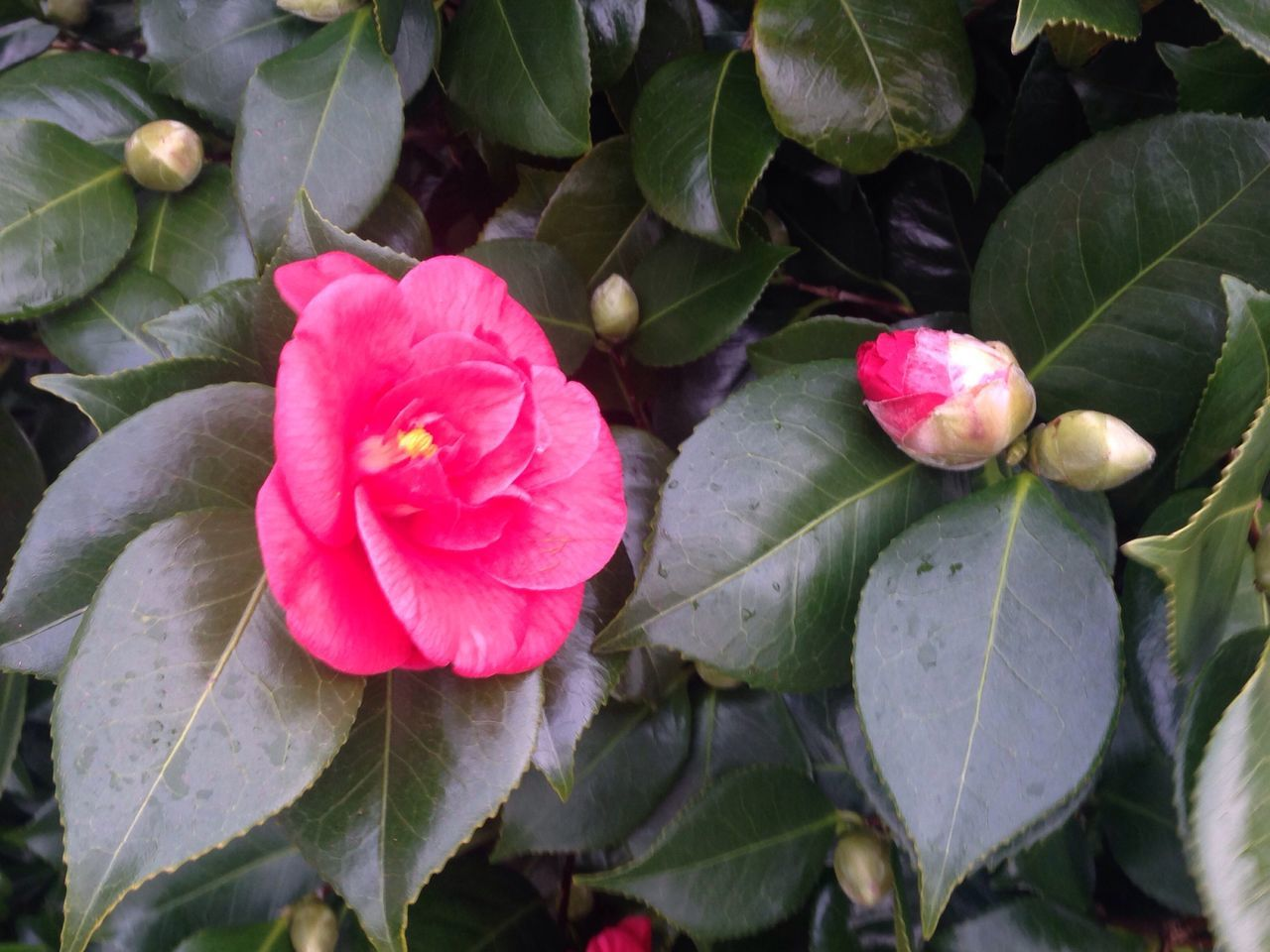 Flower Pink Color Petal Growth Fragility Nature Beauty In Nature Flower Head Plant Leaf Freshness Close-up Outdoors No People Blooming Day Bud Budding Budding Flower