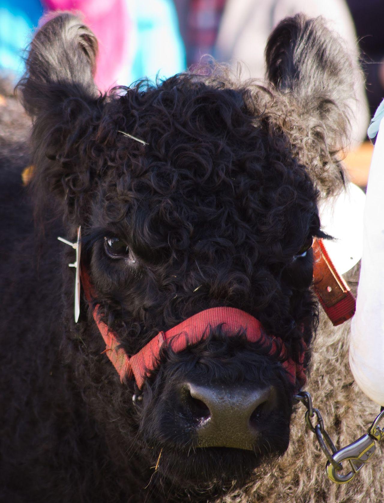 Viehmarkt RinderVieh Rindermarkt Rinder Rind Galloway Cow Hochheimer Markt Hochheim