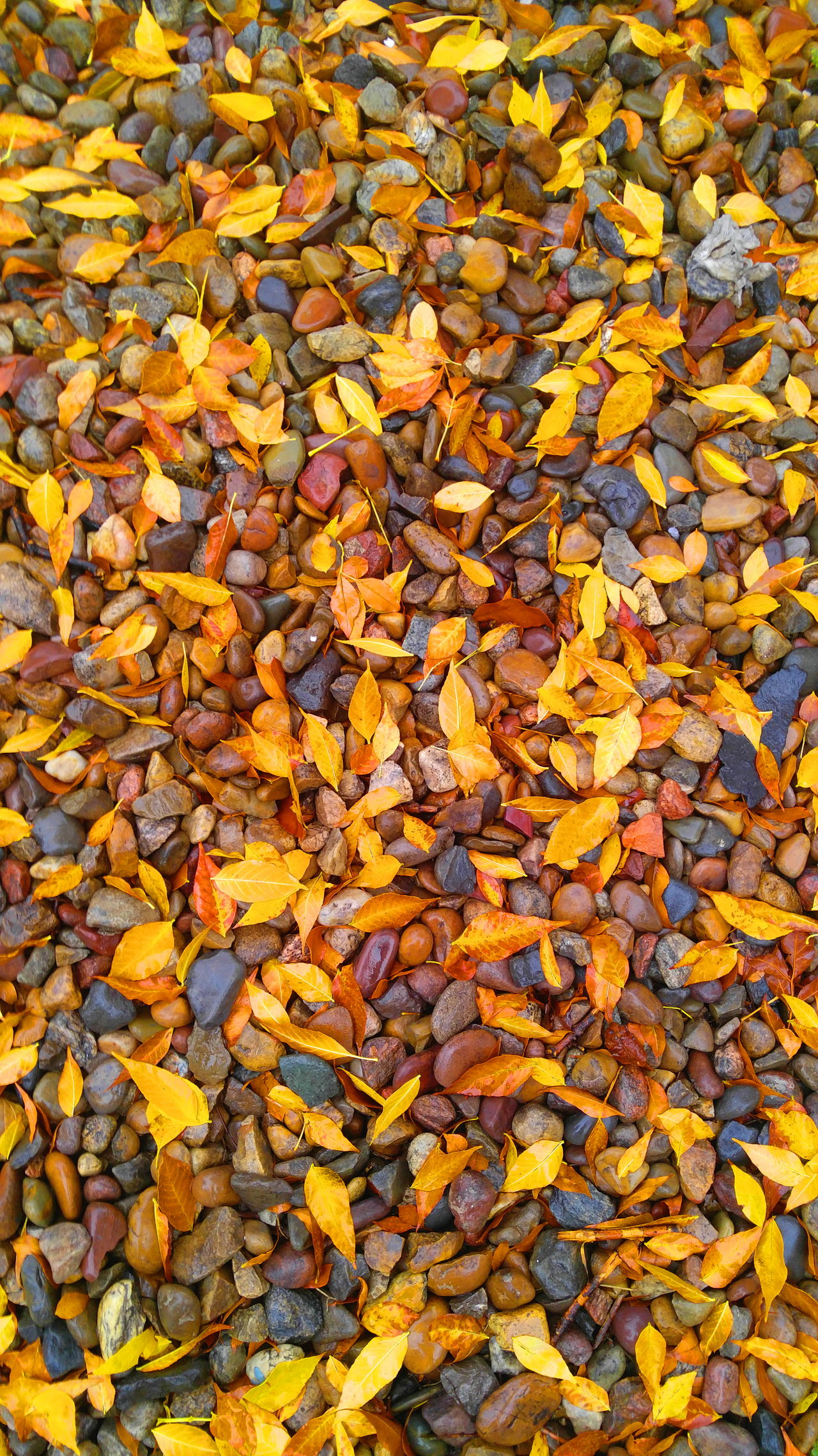 TakeoverContrast Autumn Leaf Change Season  Backgrounds Full Frame Yellow Leaves High Angle View Dry Field Fallen Close-up Abundance Nature Large Group Of Objects Day Fragility Outdoors Vibrant Color Check This Out BigSkyCountry