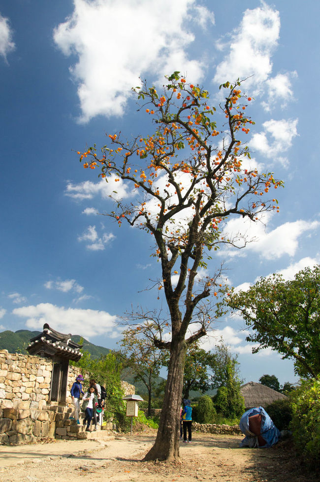 Autimn Blue Sky Blue Sky And Clouds Persimmon Tree Rural Scene Tree