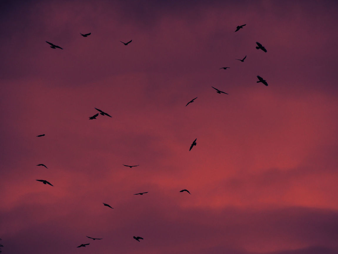 Animal Themes Animals In The Wild Atmosphere Atmospheric Mood Bird Flight Flock Of Birds Flying Low Angle View Majestic Mid-air Motion One Animal Spread Wings Tranquil Scene Tranquility Two Animals Wildlife Crimson Sky Nature Red Color Red