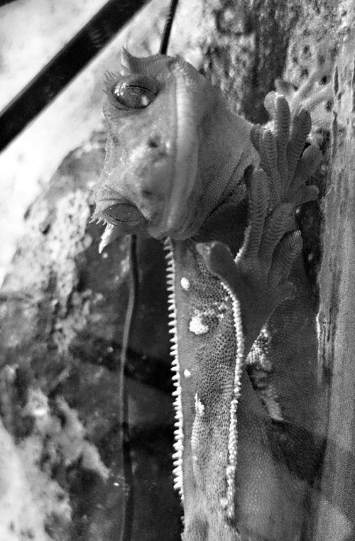 Crested Gecko Kronengecko Gecko Gekko Pets Neukaledonien Haustier