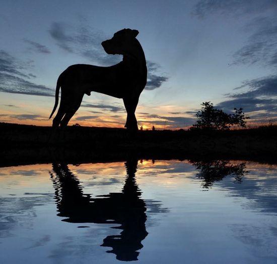 A Rhodesian Ridgeback at sunset 🐶👍🏻 Dog Sunset Water Reflections Animals First Eyeem Photo