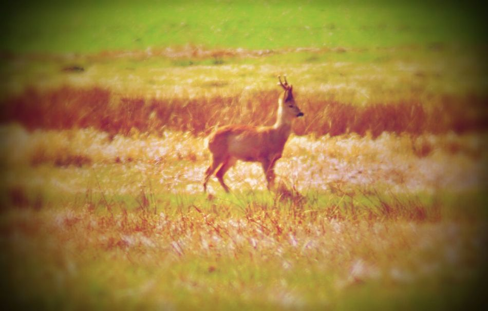 Animal Themes One Animal Grass Mammal Nature Animals In The Wild Field No People Deer Outdoors Day Beauty In Nature Deer ♥♥ Deers Nature Beauty Peace Deer Head Deer Moments Art Photography