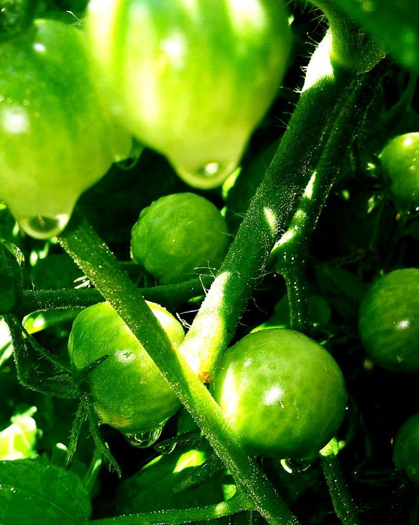 Tomatoes Unripe Tomatoes Beauty Thelittlethings