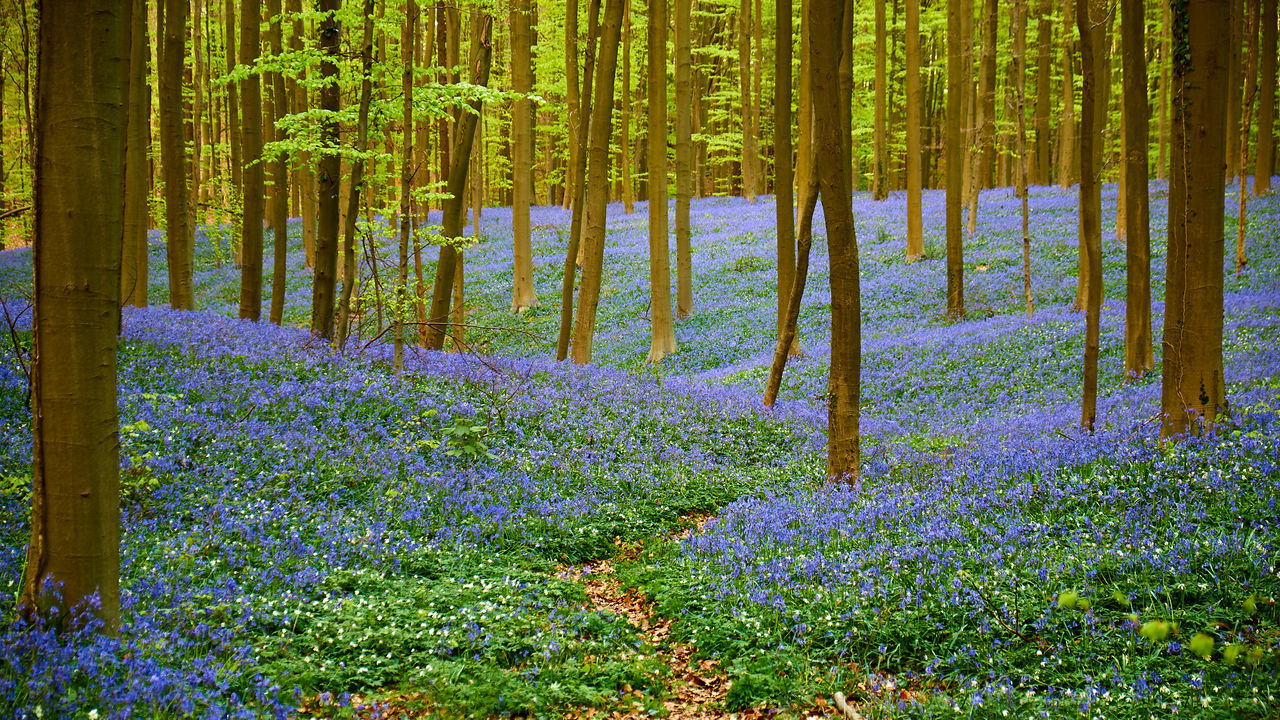 The magic wood of Halle - Abundance Beauty In Nature Blooming Blossom Bluebells Flower Forest Fragility Freshness Grass Green Color Growing Growth Idyllic In Bloom Magnificent Nature Outdoors Pathway Plant Scenics Tranquil Scene HallerbosTree The Great Outdoors With Adobe