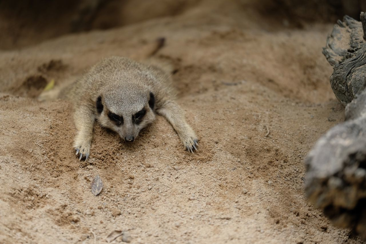Nature No People Animal Wildlife Animals In The Wild Meerkat One Animal Mammal Nature Animal Themes Outdoors Day Close-up