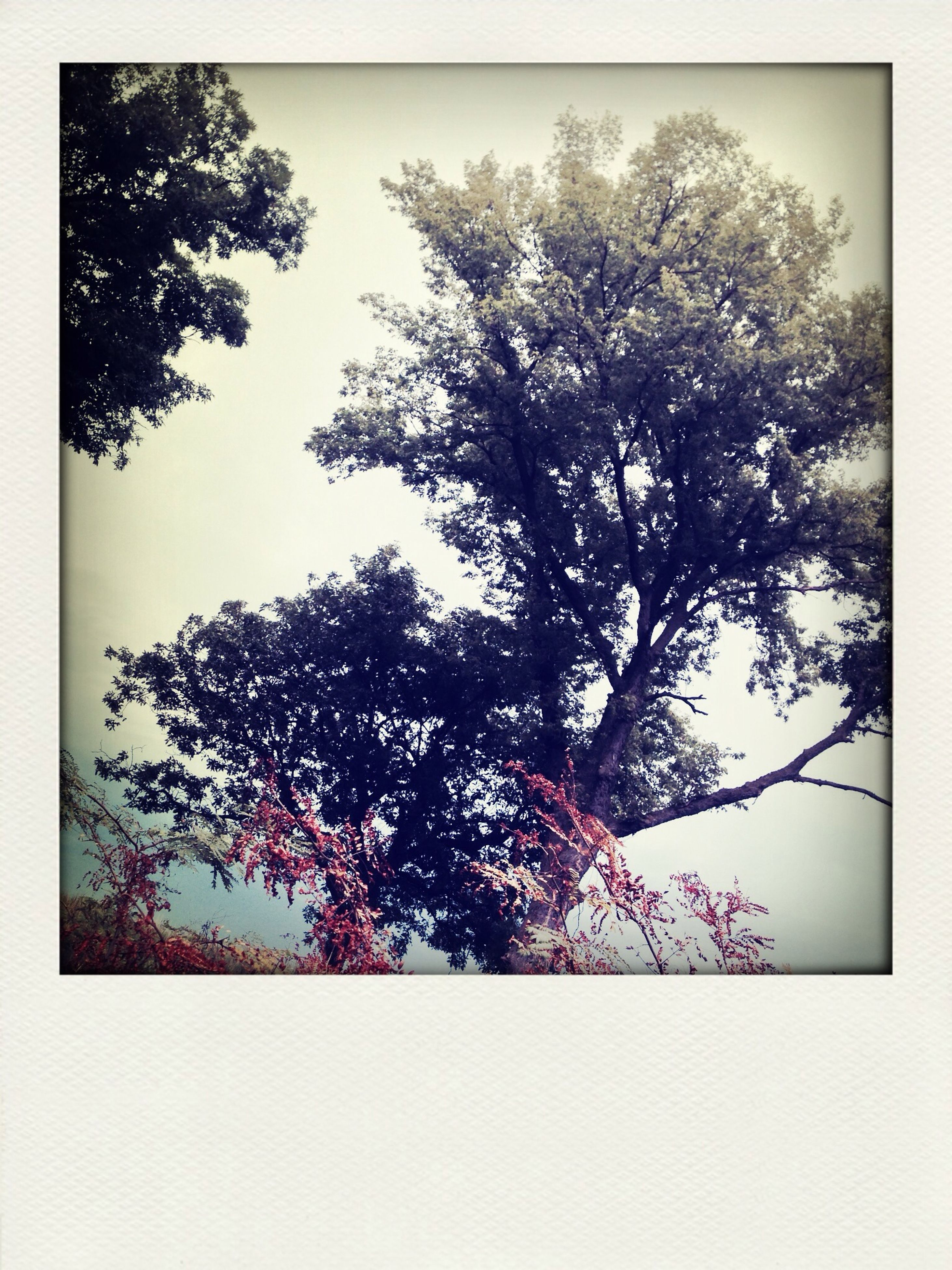 tree, transfer print, low angle view, auto post production filter, branch, sky, growth, nature, beauty in nature, tranquility, clear sky, silhouette, no people, bare tree, outdoors, day, leaf, single tree, scenics, tranquil scene