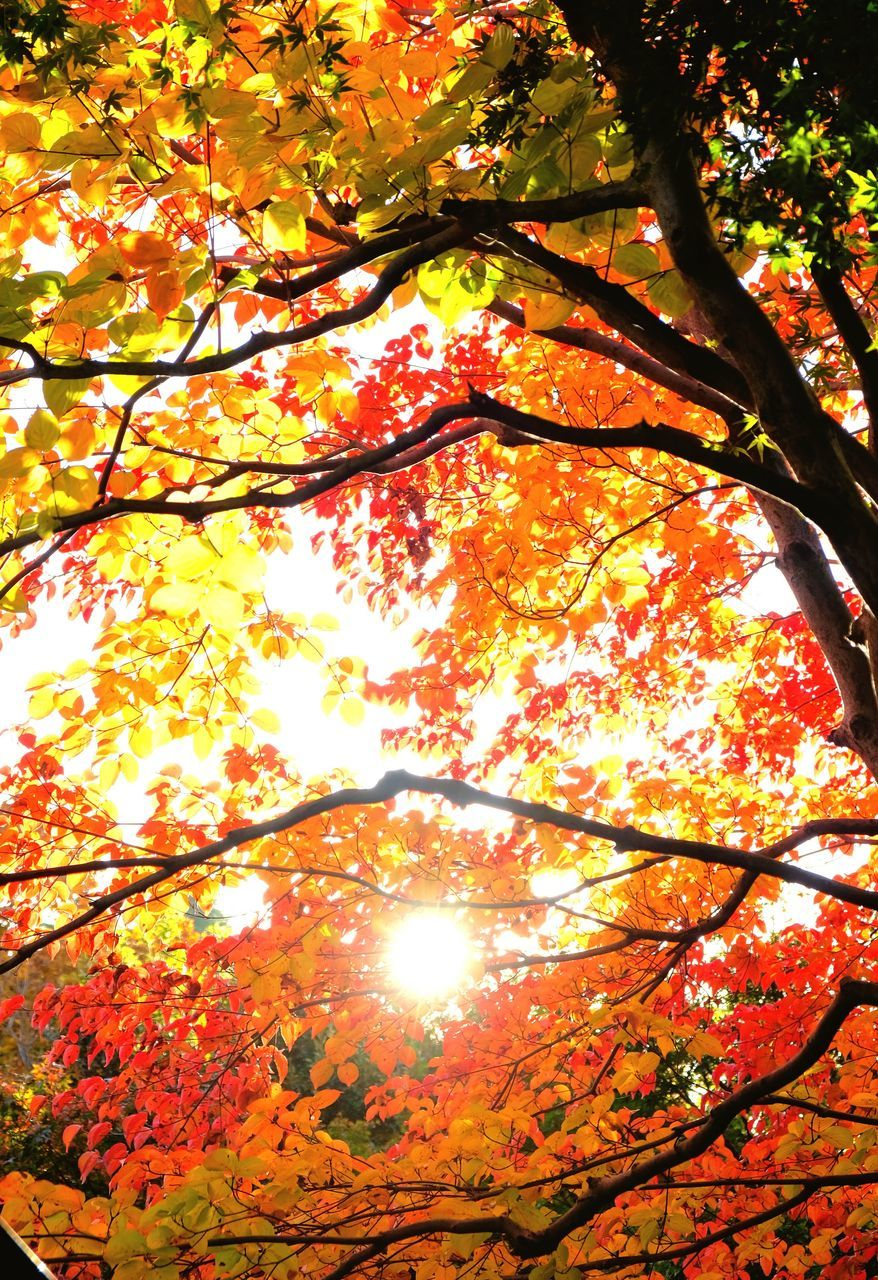 tree, autumn, leaf, change, branch, beauty in nature, nature, low angle view, growth, orange color, maple tree, no people, tranquility, outdoors, scenics, maple, maple leaf, tranquil scene, day, sunlight, tree trunk, fragility, sky