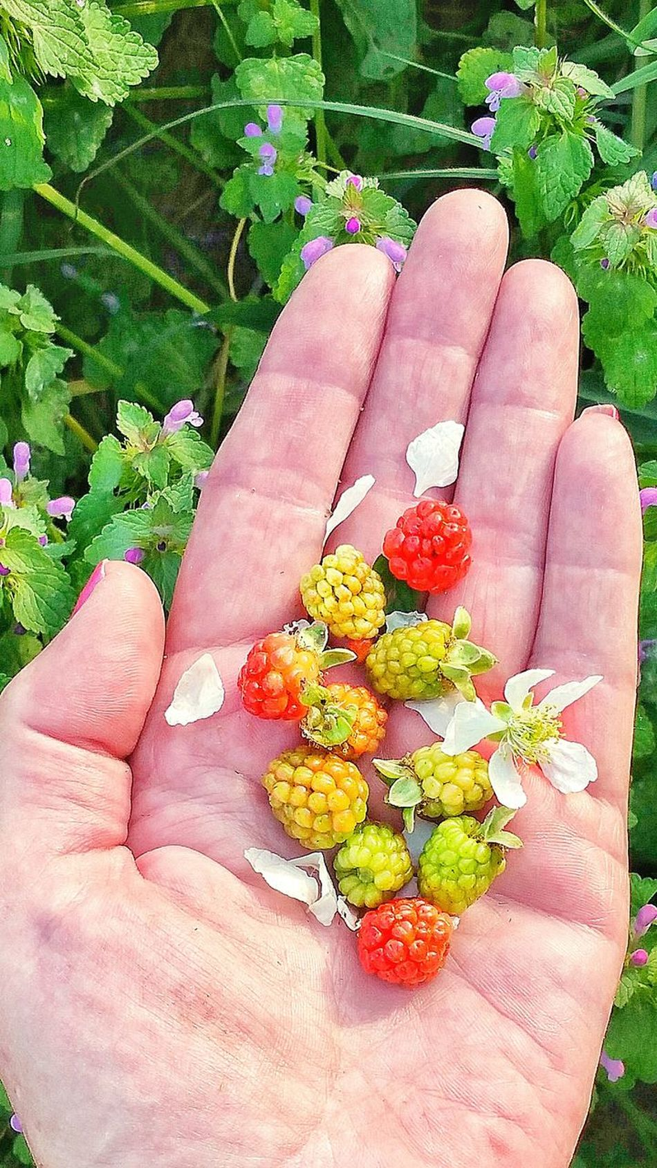 Human Hand Close-up Freshness Flower Head Growth Holding Outdoors Human Finger Flower Plant Leaf Personal Perspective Lifestyles Wild Blackberries Unripe Dew Berries Variation Palm Berry Fruit Multi Colored Healthy Eating Fruit Bunch Ready-to-eat Wild