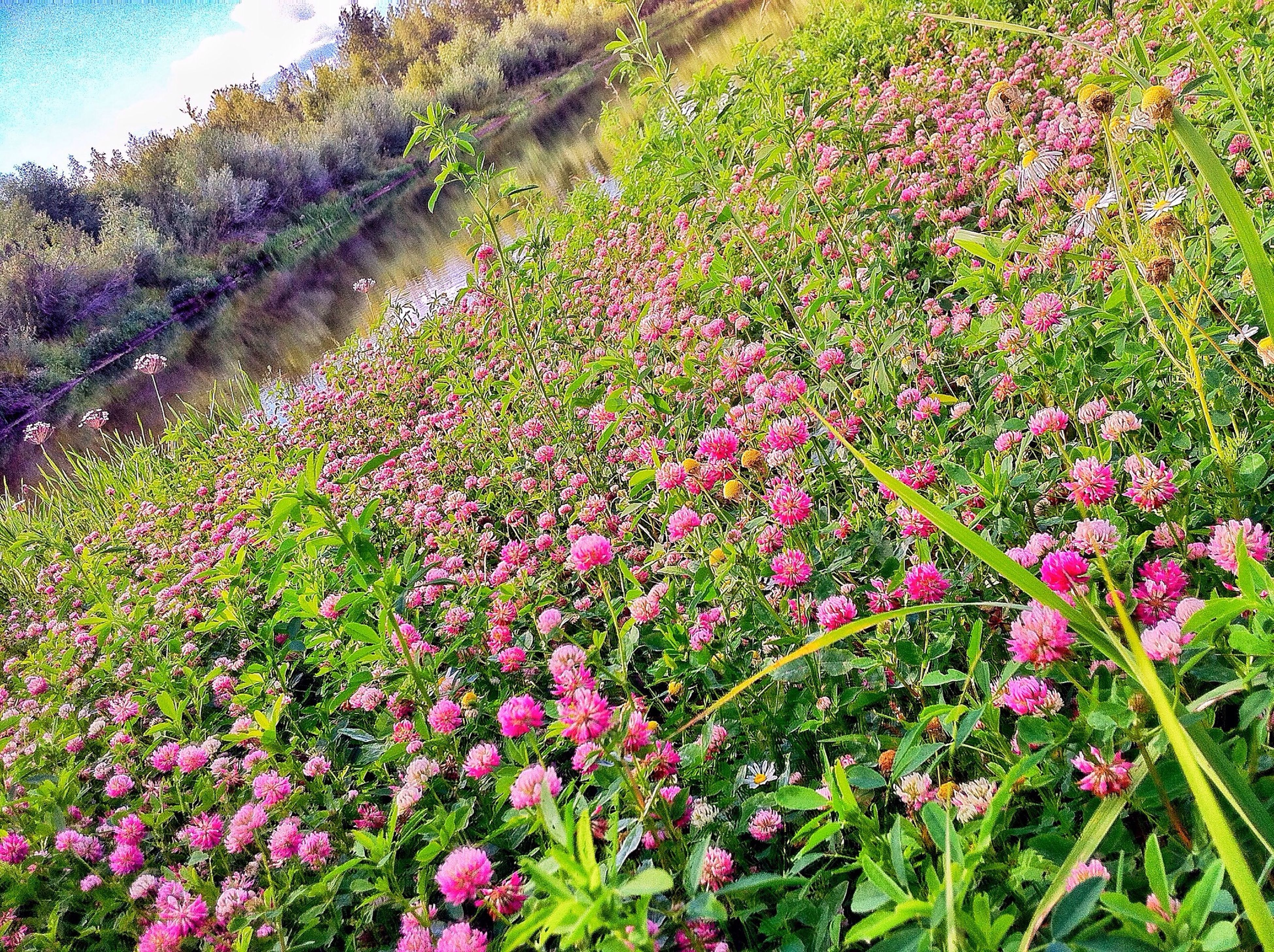 flower, growth, freshness, beauty in nature, nature, plant, blooming, fragility, tranquility, tranquil scene, field, tree, in bloom, scenics, wildflower, landscape, blossom, pink color, green color, abundance