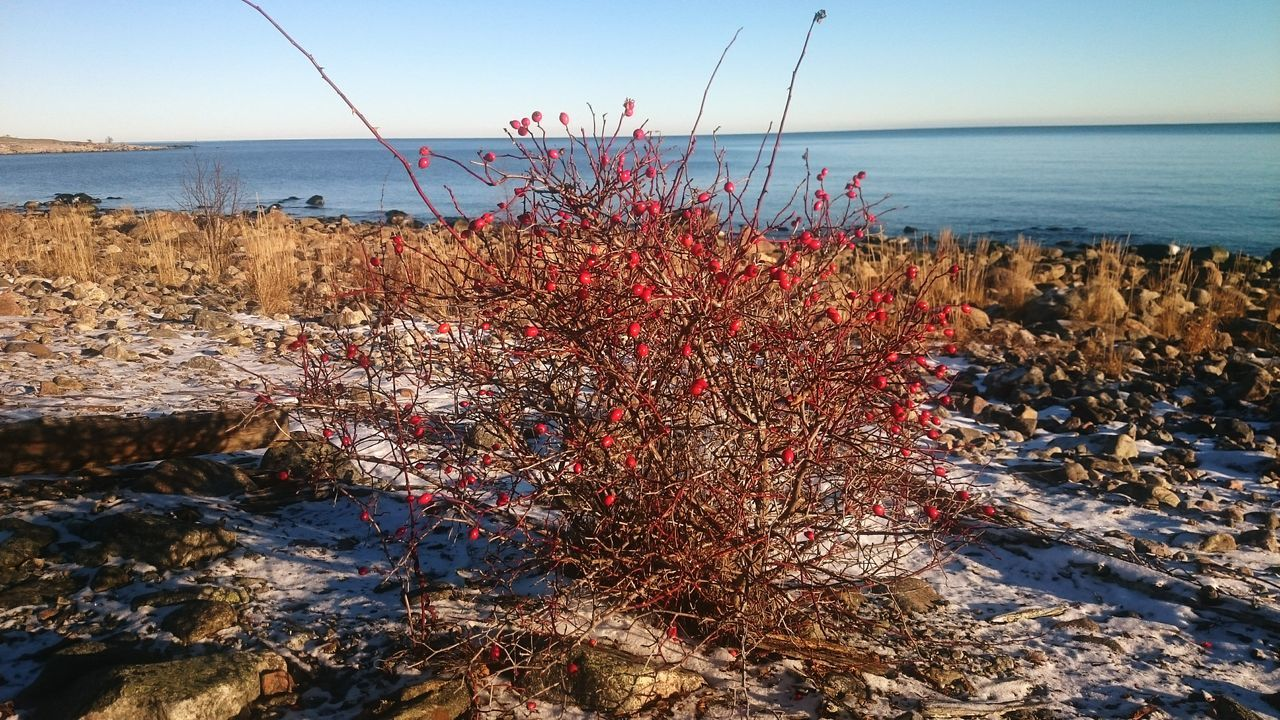 A nice winterday By The Seawith Wild Rose Hip Sea Sky Water Horizon Over Water Sunlight Outdoors Clear Sky Nature No People Beauty In Nature Nature Popular Rose Hip Rose Hips