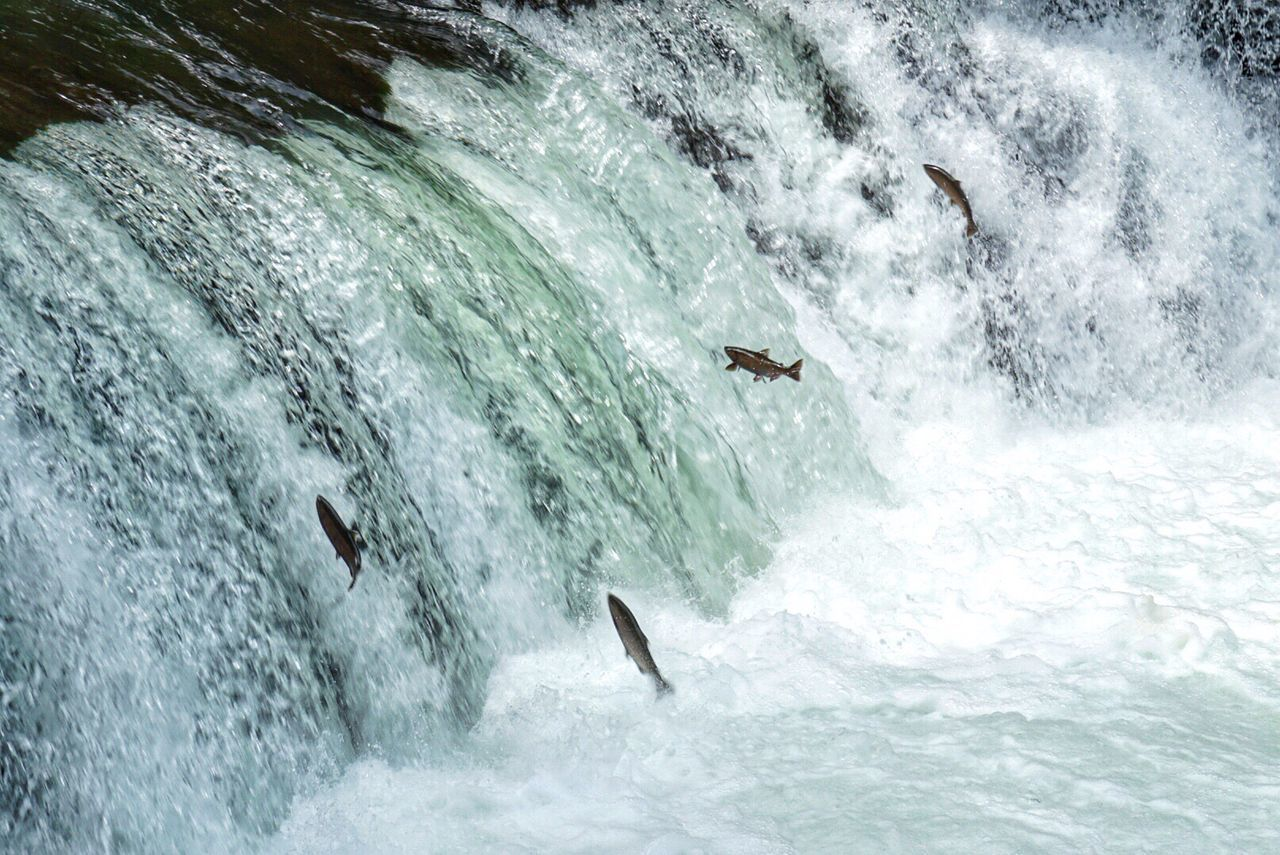 Waterfall Hokkaido EyeEm Nature Lover River サクラマスの遡上、北海道清里町さくらの滝 Waterfall climbing masu salmon、Hokkaido,Japan