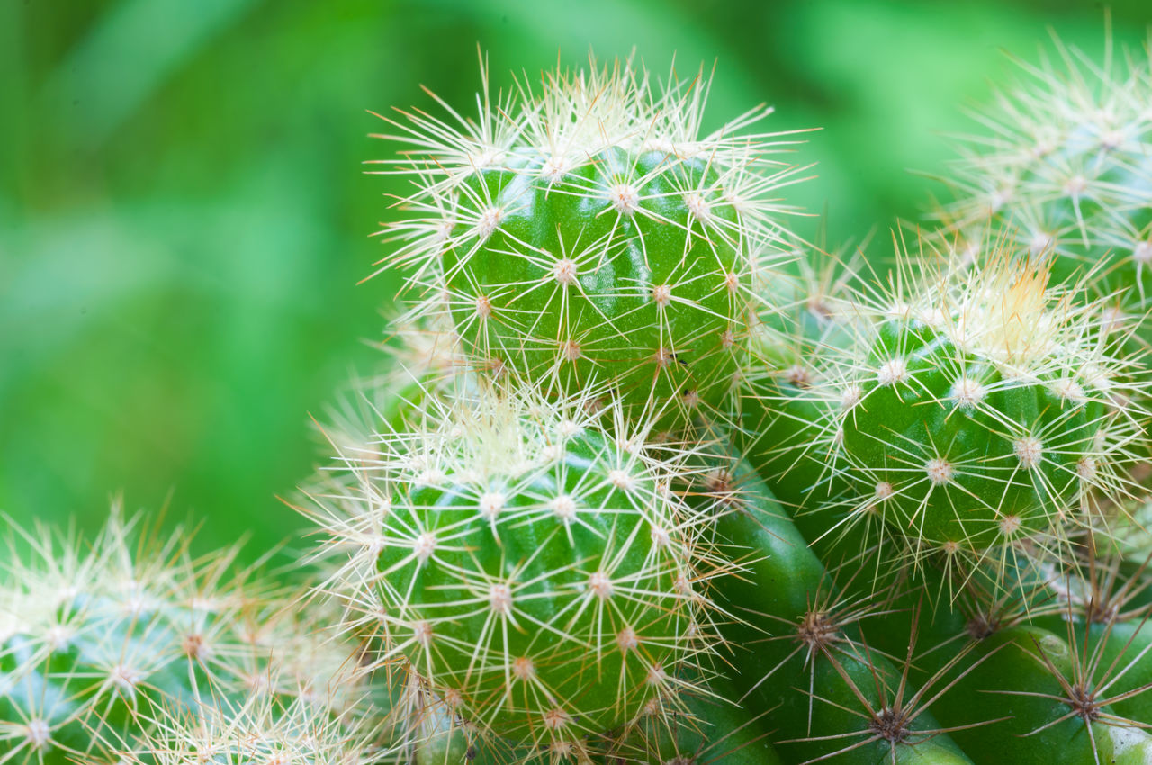 cactus, thorn, growth, green color, nature, plant, spiked, beauty in nature, danger, no people, close-up, outdoors, day, risk, focus on foreground, prickly pear cactus