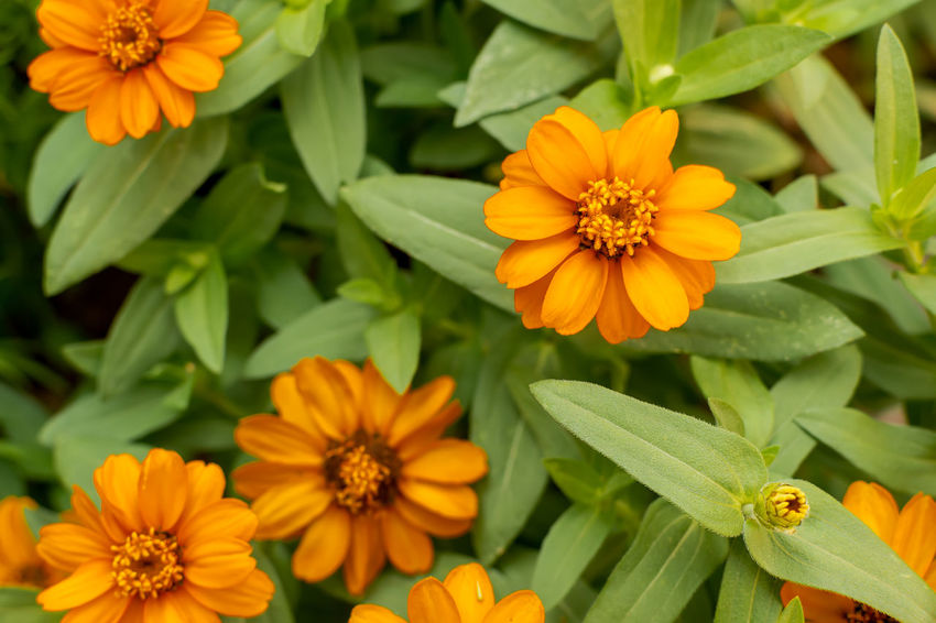 Zinnia flower in the garden close up Beauty In Nature Blooming Close-up Day Flower Flower Head Fragility Freshness Garden Growth Home Sweet Home Nature No People Outdoors Petal Plant Rural Scene Zinnia