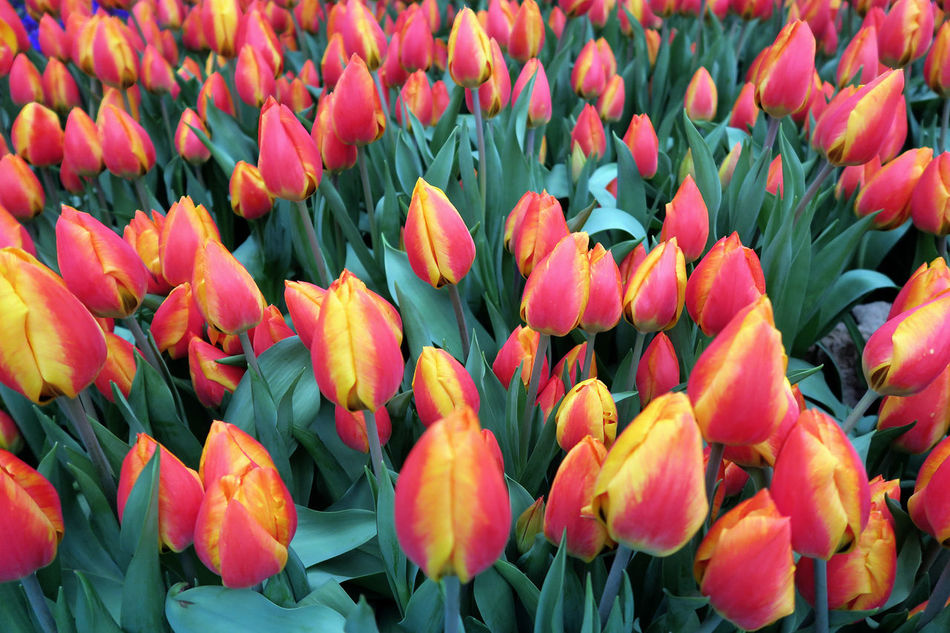 red yellow tulips flowerbed in springtime. high angle view. full frame. Backgrounds Beauty In Nature Blooming Close-up Day Flower Flower Head Flowerbed Fragility Freshness Full Frame Growth Nature No People Petal Plant Red Tulip Yellow