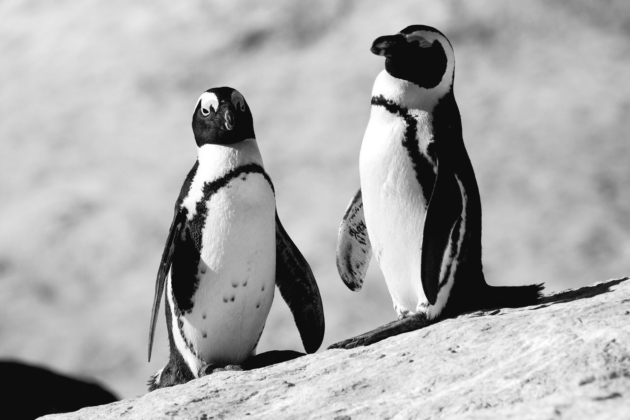 Bird Penguin Animals In The Wild Animal Wildlife Animal Themes Focus On Foreground Nature No People Outdoors Togetherness Day Close-up Couple Chilling Relaxing Looking At Camera Wildlife EyeEm Best Shots EyeEm Nature Lover EyeEm Gallery Check This Out Black And White Monochrome in Boulders Beach , South Africa MISSIONS: The Great Outdoors - 2017 EyeEm Awards The Portraitist - 2017 EyeEm Awards