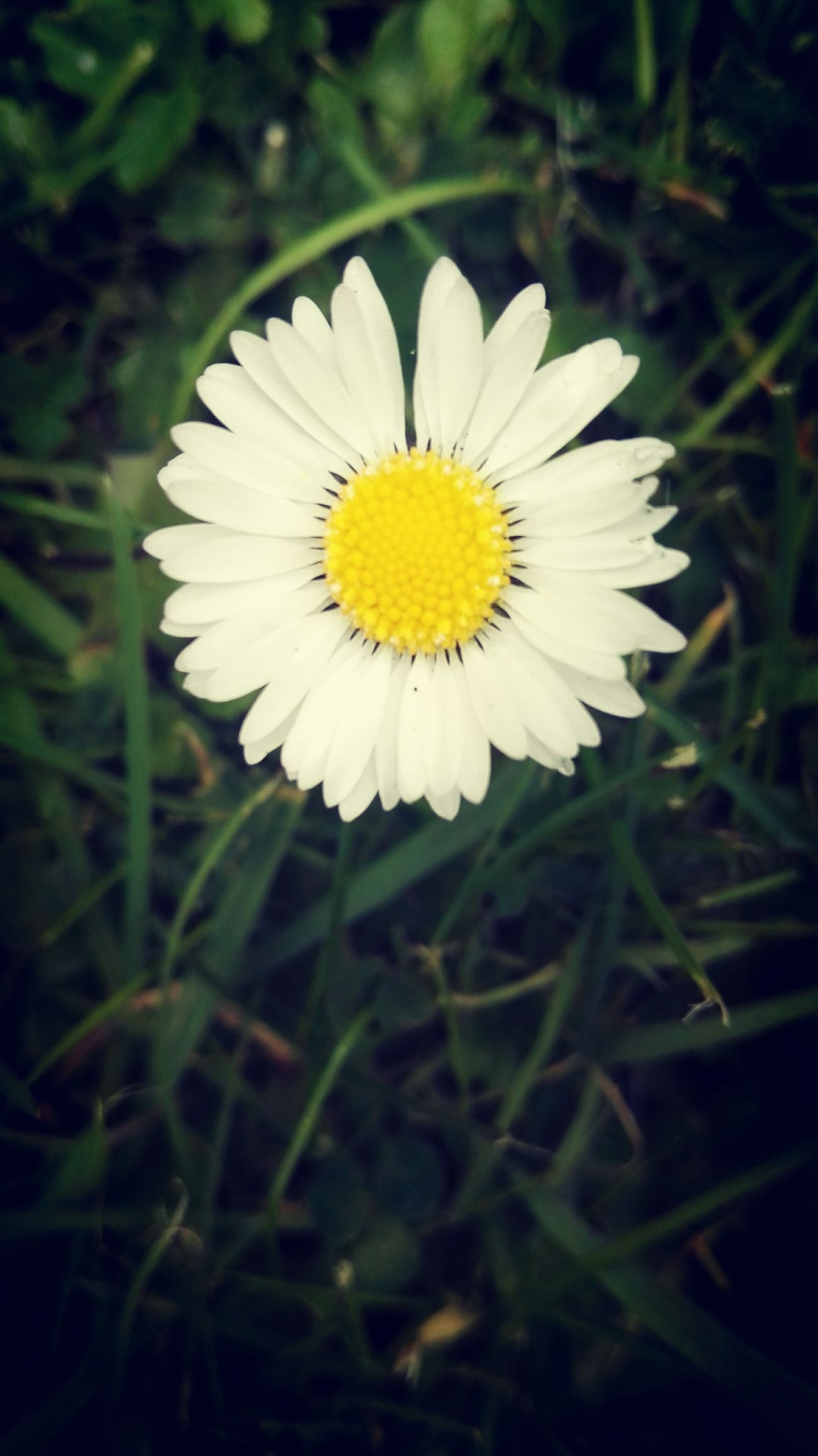 Daisy ☺ Flower Yellow Flower Head Petal Freshness White Color Close-up Growth Beauty In Nature Outdoors No People Eyem Best Shots Nature_collection Wildflower Spring 2017 Springtime EyeEm Best Shots Daisy Daisy Close Up