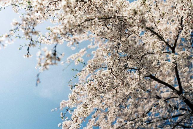 『 桜が咲いたよ 』と便りがきた。明日は秋に咲くさくらをみにいこう。 Cherry Blossoms Film Film Photography Olympus Olympusom1n EyeEm Best Shots EyeEm Nature Lover EyeEm Flower Flowers 桜