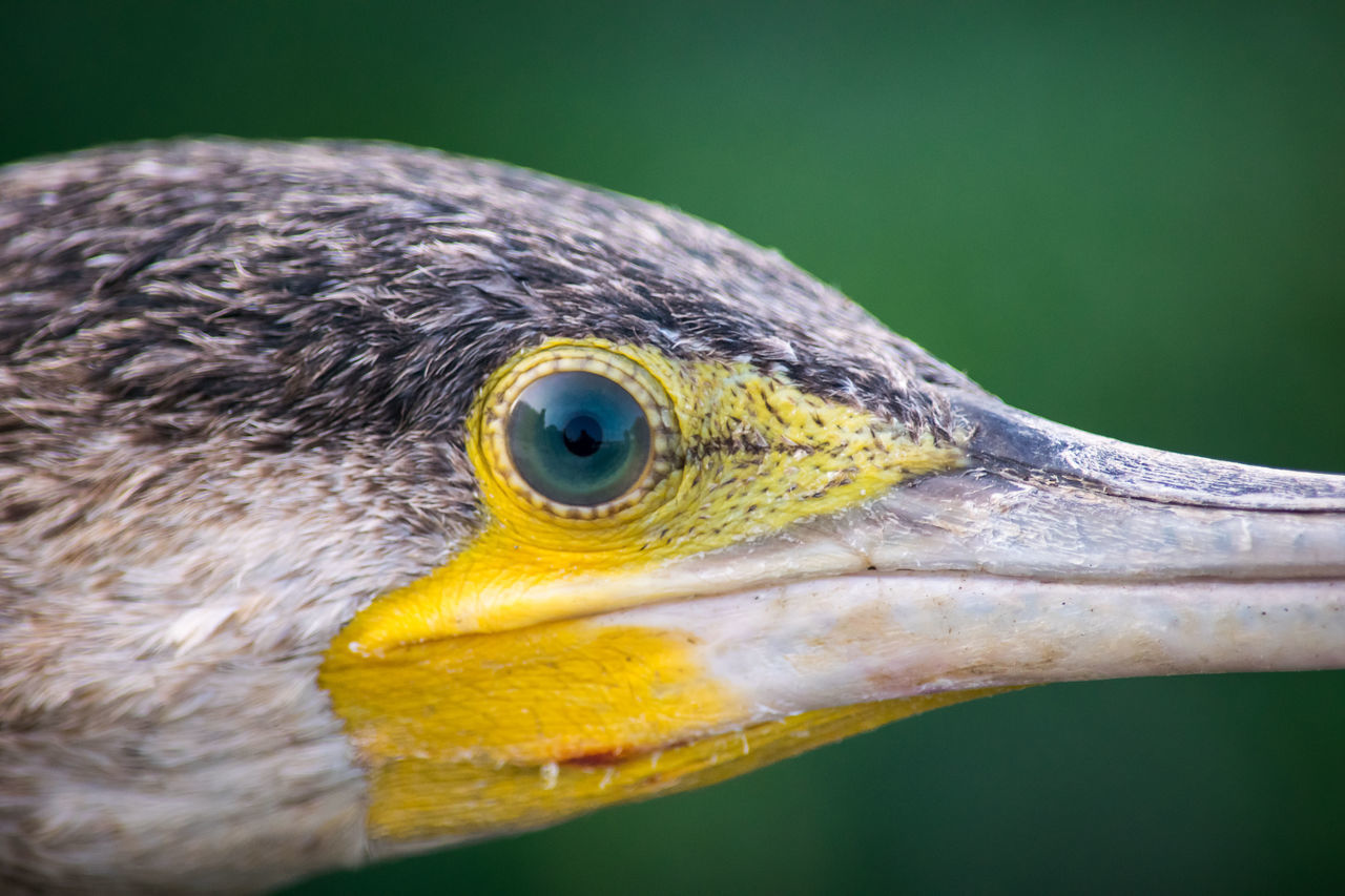Eye Bird Close-up One Animal No People Animals In The Wild Outdoors Animal Eye Nature Day Beak Animal Wildlife Nature Nikonphotographer Nikonphotography Nikond3300 Nikkor Nikkor 55-300mm Lens Wildlife Wildlife Photography EyeEm Nature Lover EyeEm