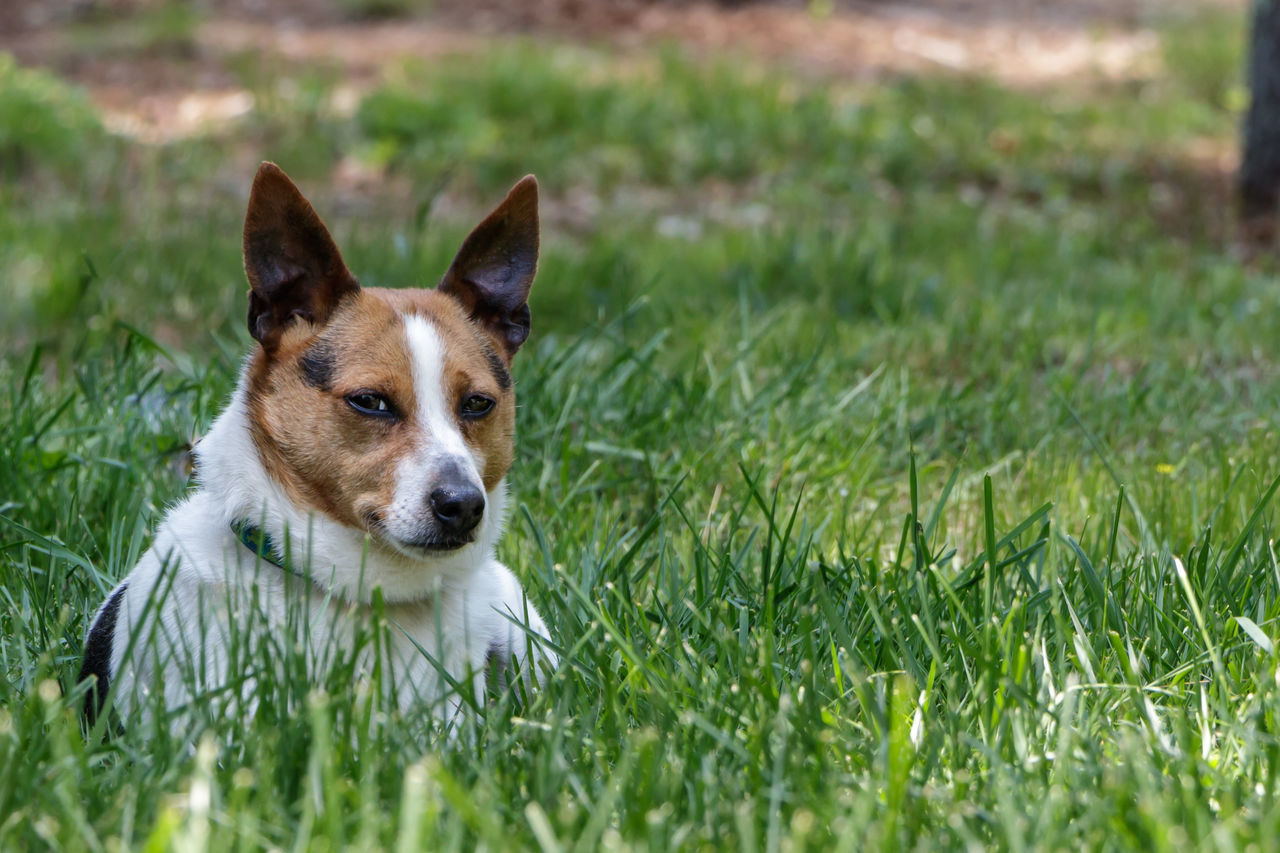 Animal Head  Animal Themes Canine Close-up Cute Day Dog Domestic Animals Field Focus On Foreground Grass Grassy Green Color Leo Mammal Nature No People Outdoors Pet Collar Pets Portrait Rat Terrier Rat Terriers Ratty Selective Focus