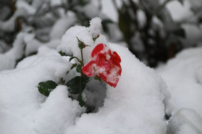Shades Of Winter Snow Winter Cold Temperature Red Environment Nature Outdoors Snowflake No People Day Snowing Tree Beauty In Nature Close-up