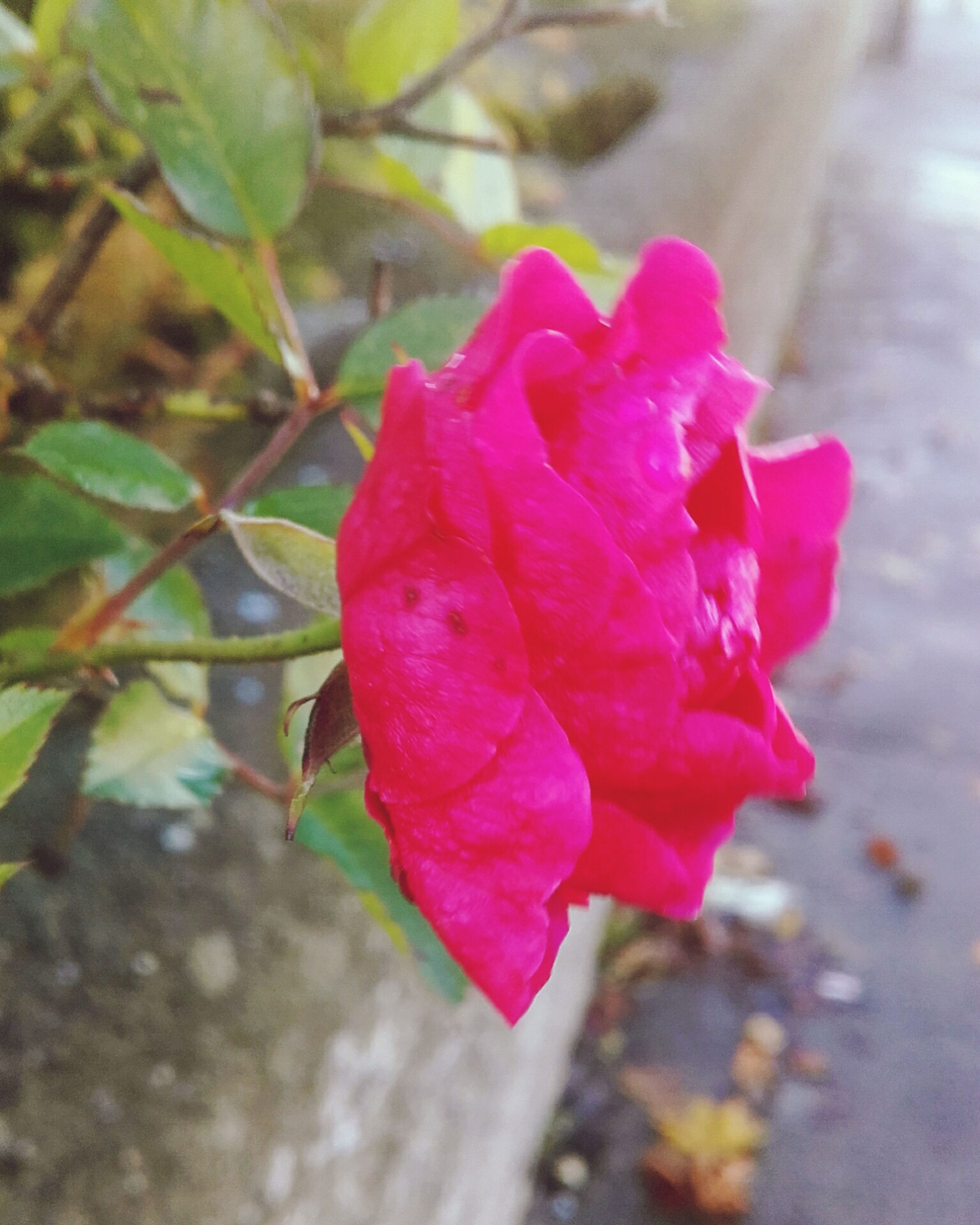 flower, rose - flower, pink color, freshness, petal, focus on foreground, close-up, fragility, flower head, beauty in nature, red, growth, nature, leaf, single flower, plant, day, selective focus, pink, outdoors