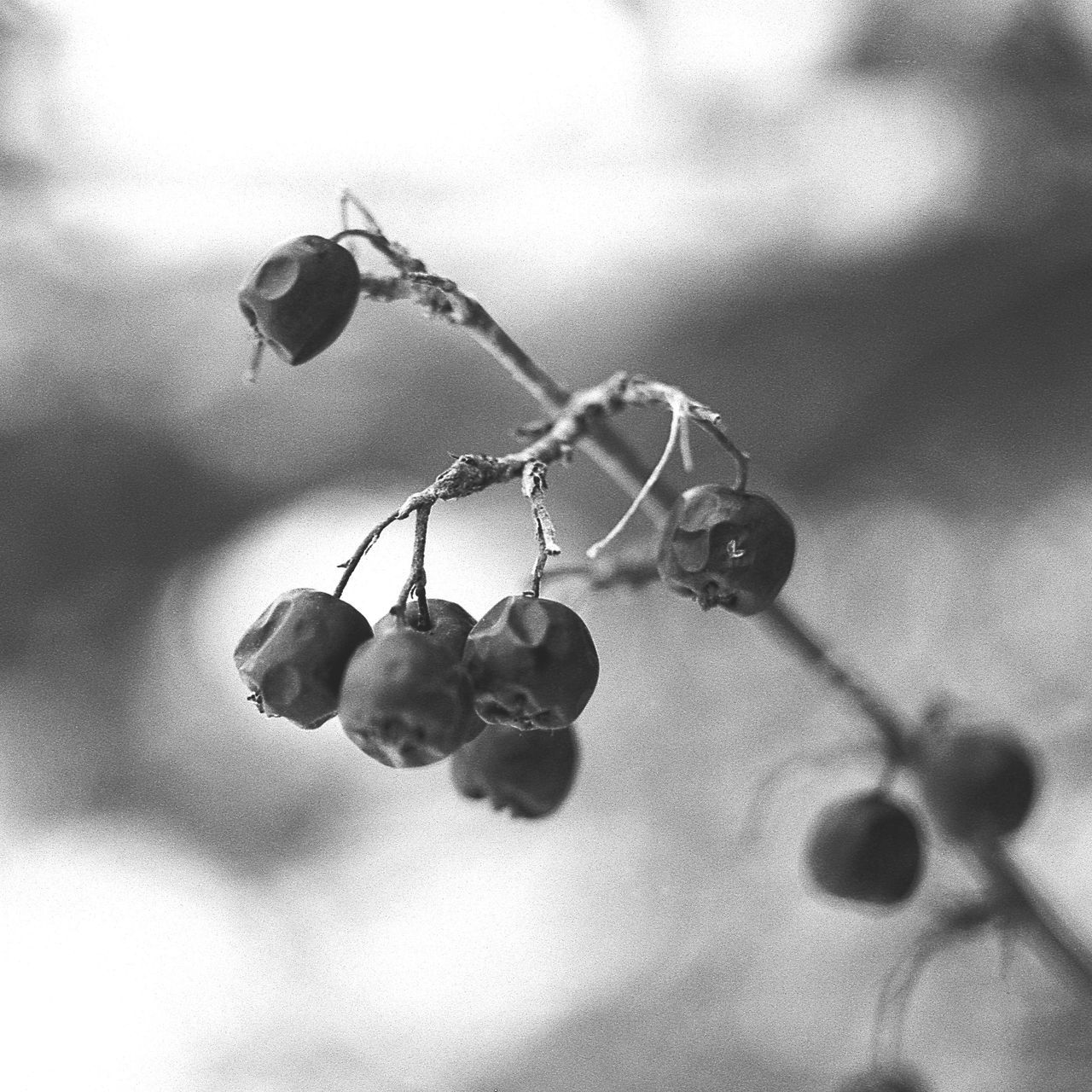 Close Up View Of Rowanberries On Branch