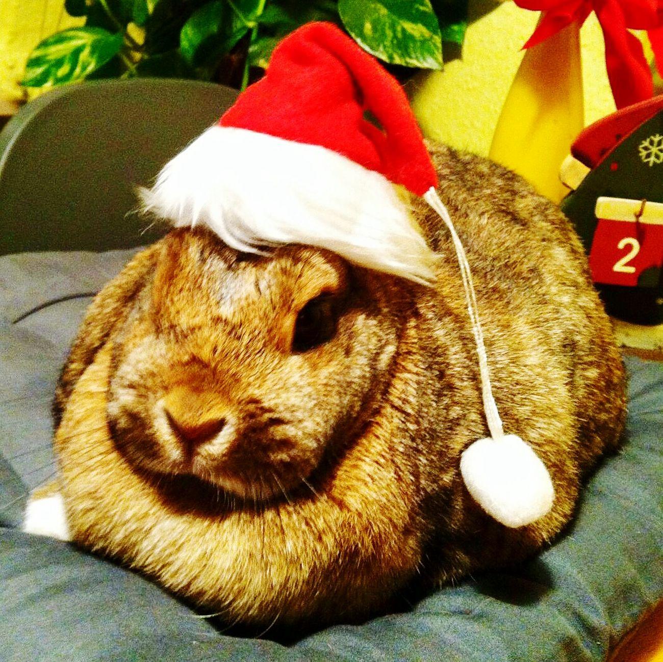 Weihnachten, Hase, Kaninchen, christmas Animal Themes Domestic Animals Indoors  Rabbit Rabbit ❤️ First Eyeem Photo