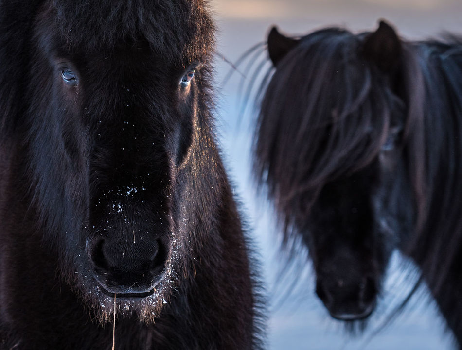 """Black and white. Two black Icelandic horses stood out against the snowy background. The cold doesn't seem to bother them much. Small, tough and ever so friendly, these horses are a bit like the island they live on. (Nikon D810 70-200mm f/2.8 ƒ/4 135mm 1/200"""" iso 64) Animal Themes Animals Black Color Close-up Cold Copy Space Day Domestic Animals Focus On Foreground Horse Horses Iceland Livestock Looking At Camera Mammal Nature No People Outdoors Portrait Winter"""