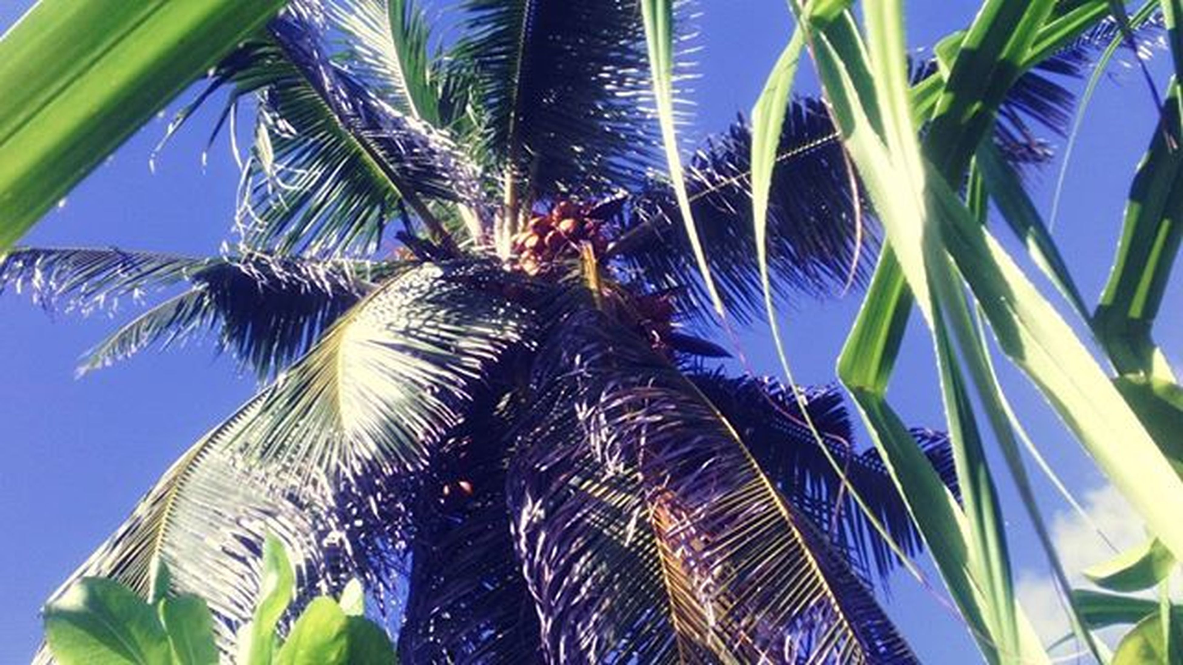palm tree, low angle view, growth, palm leaf, leaf, tree, nature, clear sky, blue, tropical tree, green color, sky, coconut palm tree, branch, day, outdoors, palm frond, beauty in nature, tall - high, tropical climate