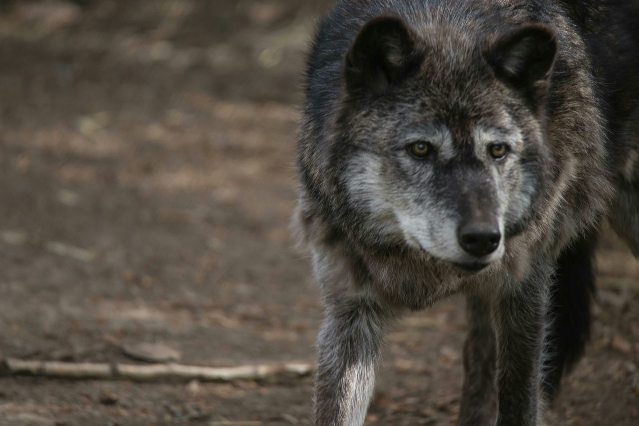 Beautiful stock photos of wolf, Animal Head, Animals In The Wild, Day, Dirt