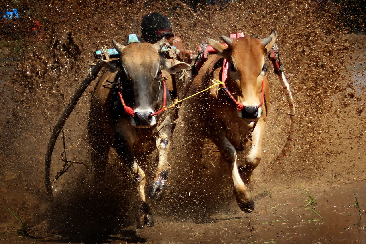Beautiful stock photos of verlobung, Determination, blurred Motion, brown, cattle