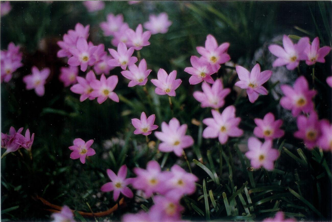 Ancha's flowers Guam 35mm Film Olympus Om10