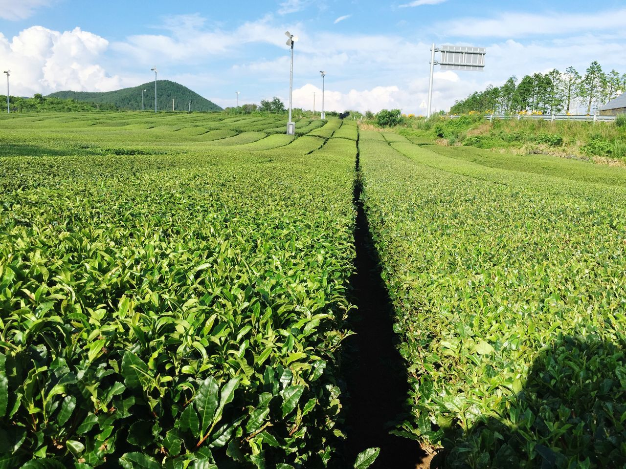 Rural Scene Agriculture Field Landscape Sky Farm Growth Scenics Green Color Green Tea Osulloc Korea JEJU ISLAND  Nature Plant Beauty In Nature Tranquil Scene Cultivated Land Alternative Energy Cloud Renewable Energy Tranquility Wind Turbine Beautifully Organized