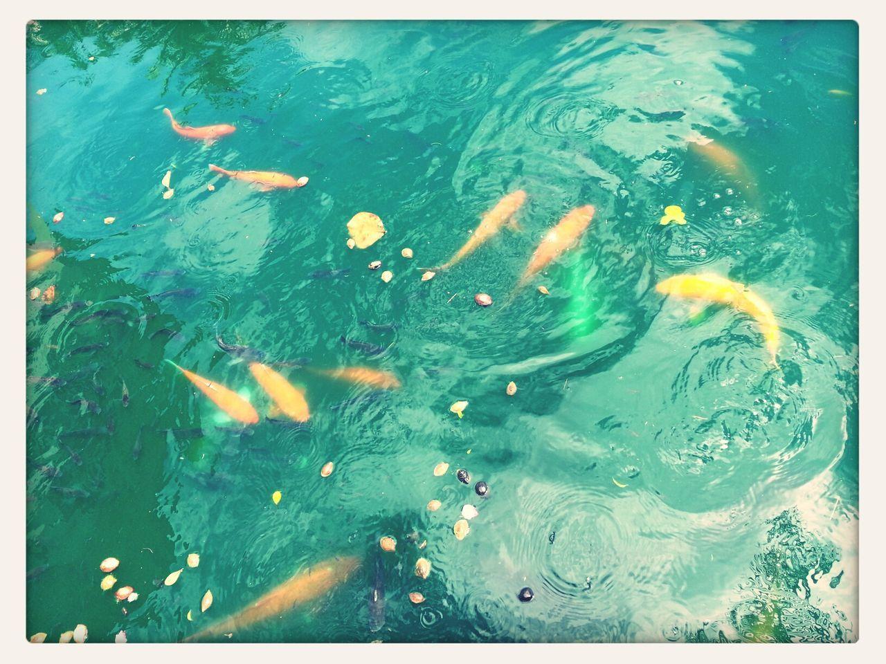 Goldfish in the lake