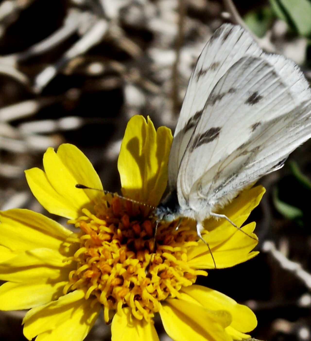 Pierisrapae Nature Plants And Flowers Pieris Rapae Insects  Flowers Intruder  Agricultural Pests Cabbage Butterfly