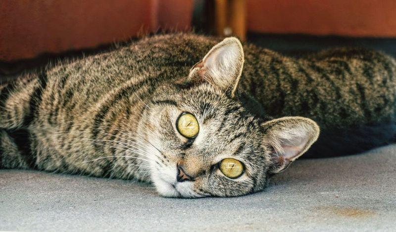 Neighbors cat. Pets Domestic Cat Dramatic Angles