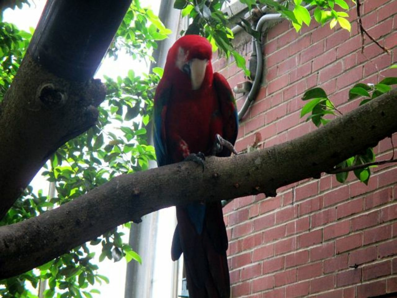 animals in the wild, animal wildlife, animal themes, low angle view, perching, bird, tree, day, no people, outdoors, red, branch, nature, parrot, beauty in nature