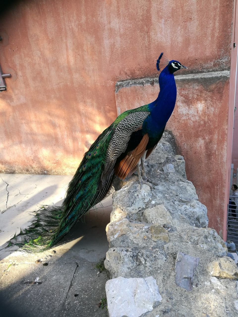 bird, one animal, animals in the wild, animal themes, animal wildlife, nature, day, no people, outdoors, peacock, beauty in nature, full length, close-up