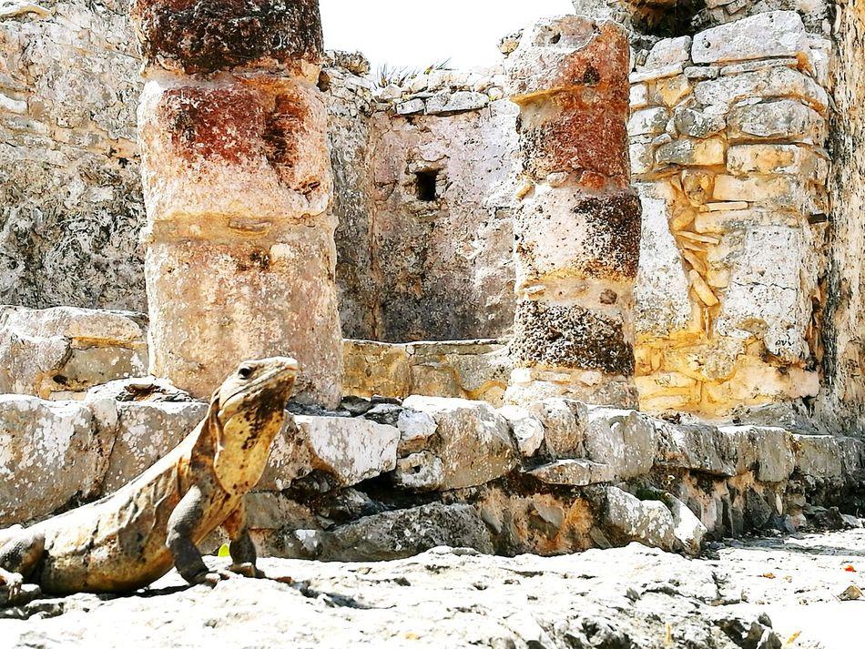 Mexico Cancun Tulum , Rivera Maya. Architecture Mayan Ruins Iguana Wildlife Ancient Architecture Outdoors No People